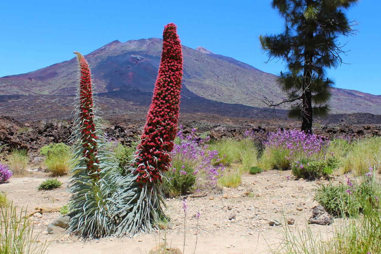 Blühende Tajinaste, Teide