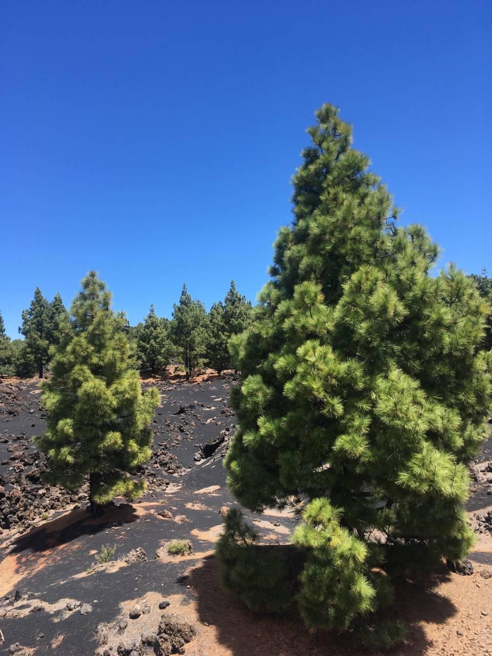 Kiefern im Teide Gebiet