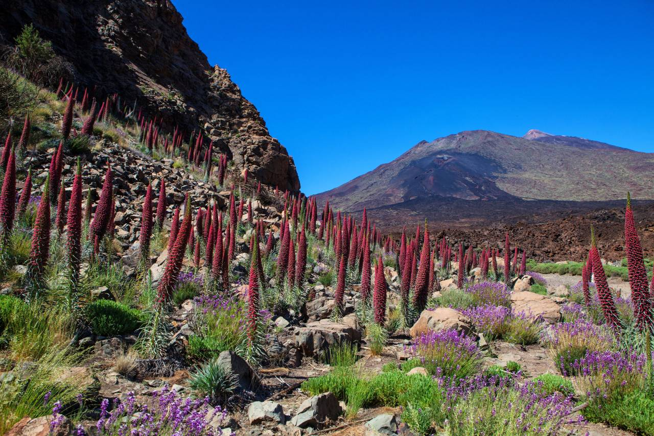 Teide Landschaft mit Tajinaste